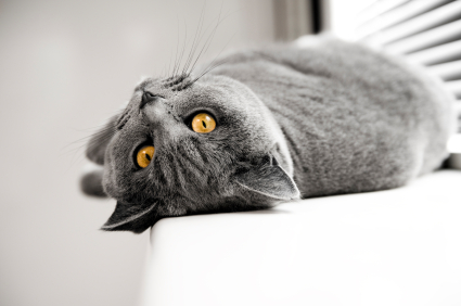 ist2_10814790-cat-british-shorthair-posing-for-camera